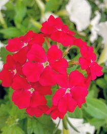 Rote Gartenschönheit by Antje Krenz