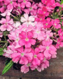 Rosa Romantik im Garten by Antje Krenz