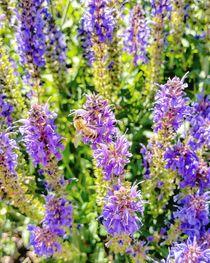 Biene im Lavendel  von Antje Krenz