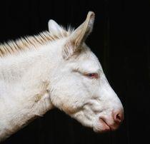 White Donkey by haike-hikes