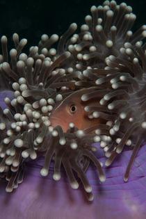 Anemonenfisch versteckt in seiner Anemone von Sven Gruse