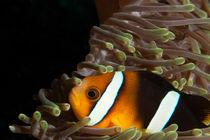 Nahaufnahme eines Clownfisch by Sven Gruse