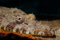 Krokodilfisch wartet auf Beute by Sven Gruse