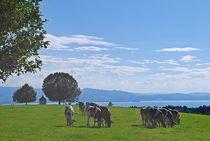 Münchner Jakobsweg: glückliche Kühe über dem Bodensee... von loewenherz-artwork