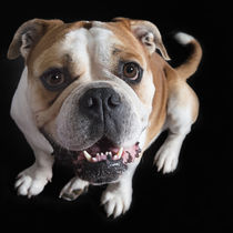 Vintage English Bulldog / 2 by Heidi Bollich