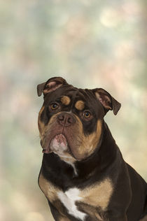 Old English Bulldog / 3 von Heidi Bollich