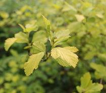 Green leaves von Maria Preibsch