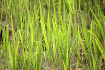 Riceplant by Martina  Gsöls