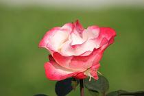 Rose in voller Pracht by Martina  Gsöls
