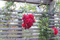 Rose in Autumn von Martina  Gsöls