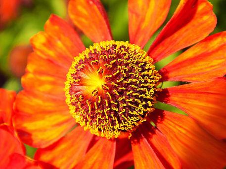 Florale-sonne