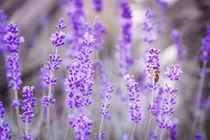 Lavendel von Brigitte Sanladerer