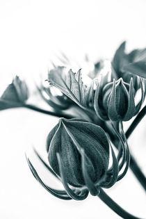 Hibiscus by Brigitte Sanladerer