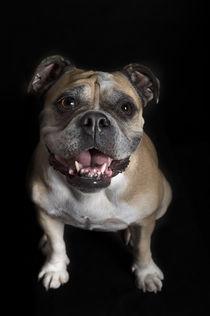Continental Bulldogge / 1 von Heidi Bollich