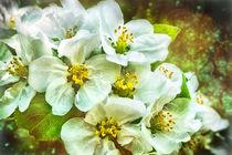 Apfelblüten von Barbara Pfannstiel