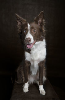 Border Collie / 2 von Heidi Bollich