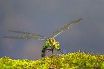 Libelle bei der Eiablage von Bernhard Kaiser