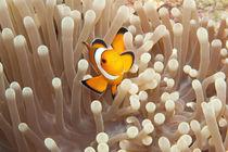 Clownfisch in seiner Anemone von Sven Gruse