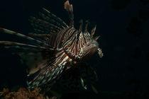 Feuerfisch von Sven Gruse