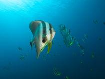 Fledermausfische by Sven Gruse