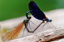 Libellen Kamasutra von elio-photoart
