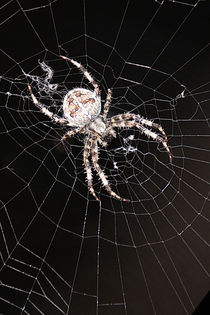 'Network agency - Spider in the backlight' von Chris Berger