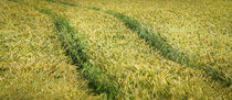 Spuren im Kornfeld - Traces in a cornfield by Ruth Klapproth