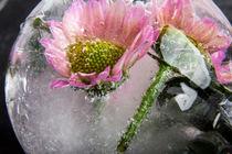 Chrysantheme in Eis 4 von Marc Heiligenstein