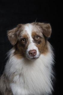 Australian Shepherd / 9 von Heidi Bollich