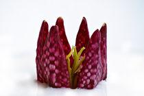 Schachbrettblume von Bettina Dittmann