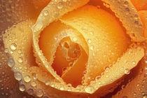 Gelbe Rose von Bettina Dittmann
