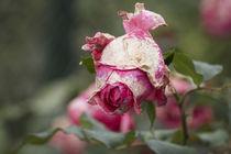 Herbstrose von Petra Dreiling-Schewe