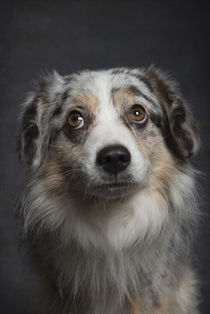 Australian Shepherd / 10 by Heidi Bollich