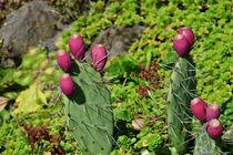 Kaktusfeigen von Claudia Evans