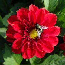 Grüne Fliege auf roter Dahlie von kattobello