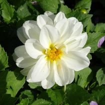 Weiße Dahlie von kattobello