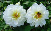 Biene auf weißen Dahlien von kattobello