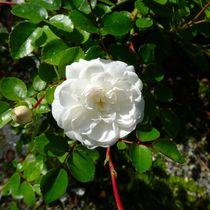 Weiße Rose 1 von kattobello