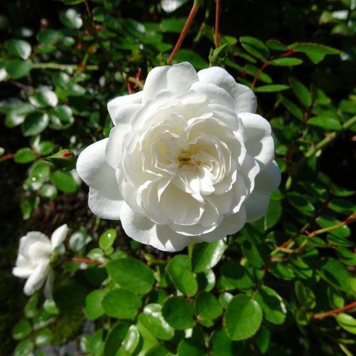 Weisse-rose-2