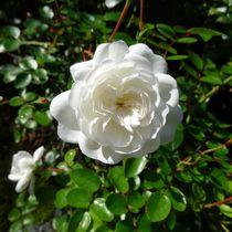 Weiße Rose 2 von kattobello