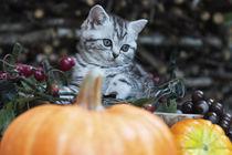 Herbstkätzchen von Heidi Bollich