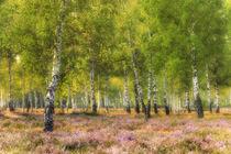 Heide und Birken im Morgenlicht by moqui