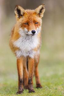 Fuchs in Gedanken by moqui