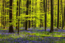 Frühlingswald mit Hasenglöckchen by moqui