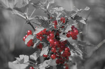 Redcurrant by cinema4design