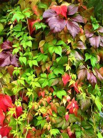 Jungfernrebe oder wilder Wein in allen Herbstfarben by assy