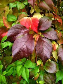 Wilder Wein mit Herbstverfärbung  by assy