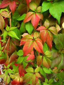 Jungfernrebe oder wilder Wein mit Herbstverfärbung  von assy