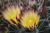 Cactus Gold von Elisabeth  Lucas