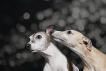 Whippets / 1 by Heidi Bollich